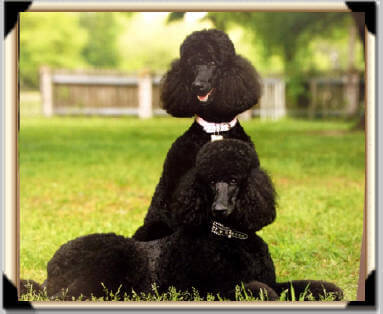 Black Beauty Standard Poodles