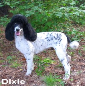 """Dixie"" Black and White Parti Female! Daughter of Gracie & Jazz! Proven Bloodline producing Calm, outstanding offspring!"