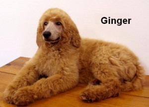 """Ginger"" Red Female- A daughter of Marci & Joey. Super affectionate, calm and highly intelligent! She's from a longtime, outstanding Smith's Proven bloodline!"