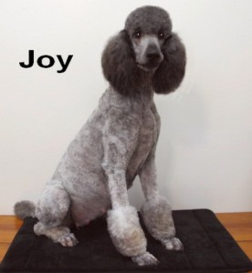 Joy is a Super Nice female with a wonderful disposition. Well Balanced in every way!Watch for her puppies.