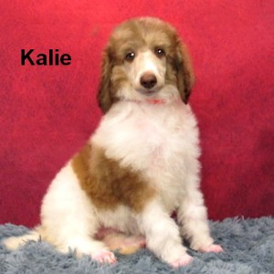 Available! * Kalie * A beautiful Parti Girl! Calm, Well balanced! Affectionate! Absolutely Doggie-Door Trained! Ready to go! $1800