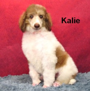 Available! * Kalie * Joy/Max's Beautiful Parti Female! Born 0/13/16 Proven Bloodline! Calm, Well balanced! Affectionate! Absolutely Doggie-Door Trained! Awesome disposition! High Intelligence! Ready to go! $1800