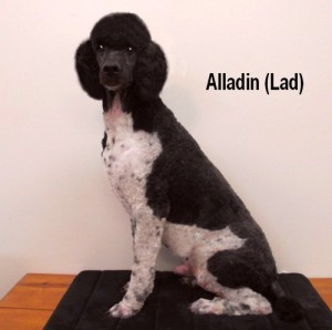 Alladin (Lad) Son of Magic & Edie. Grandson of Mo Bandy! He's throwing the same quality pups of the Mo Bandy line. Outstanding!