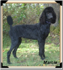 """Marcie"" A Solid Black - Daughter of Nikki, who has retired. She is carrying on her mother's legend, producing offspring with the most well-balanced traits!"