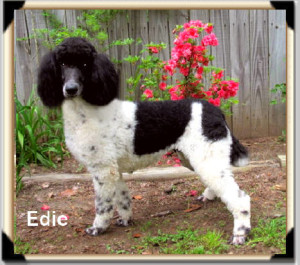 "AVAILABLE! ""Edie"" Black & White Parti Dam A daughter of Cloudy Sky coming from our proven bloodlines producing superior quality pups! Everyone raves over her offspring! The're calm & smart!"