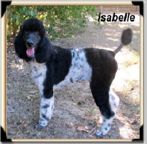 Parti-Black-and-White-Poodles-ISABELLE