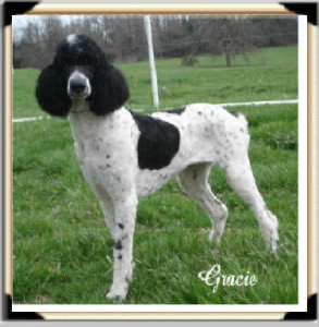 """Gracie"" Black & White Parti - Super Smart, Calm Temperament! Producing outstanding offspring that everyone loves!"