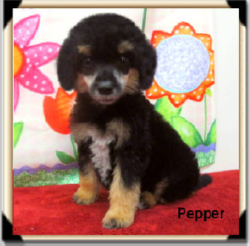 "*SOLD!* ""Pepper"" Beautiful Black/Apricot Phantom Female! Calm Temperaments! Highly Intelligent! ABSOLUTELY DOGGIE DOOR TRAINED! Born 04/09 Ready to go 06/04 $1500"