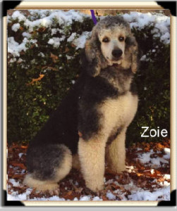 """Zoie"" Black & Cream Phantom - She's the total package! She's Producing fantastic puppies! Daughter of Starsky and Lilly!"