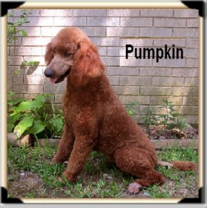 AVAILABLE! Pumpkin has Produced Outstanding Puppies!