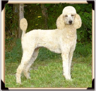RETIRED-Solid-Cream-Apricot-Standard-Poodle-HONEY