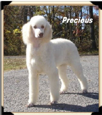 RETIRED-Solid-White-Chocolate-Standard-Poodle-PRECIOUS