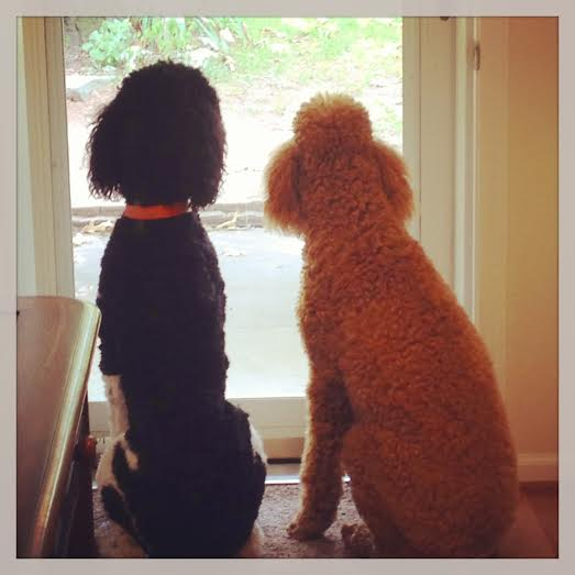 Two Poodles Sitting by door